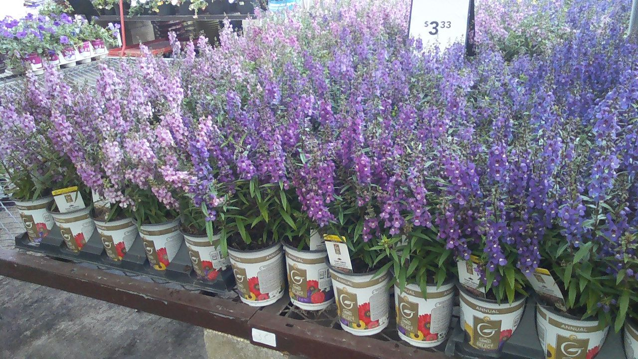 Angelonia Can Take The Summer Heat Florida Plants Landscaping