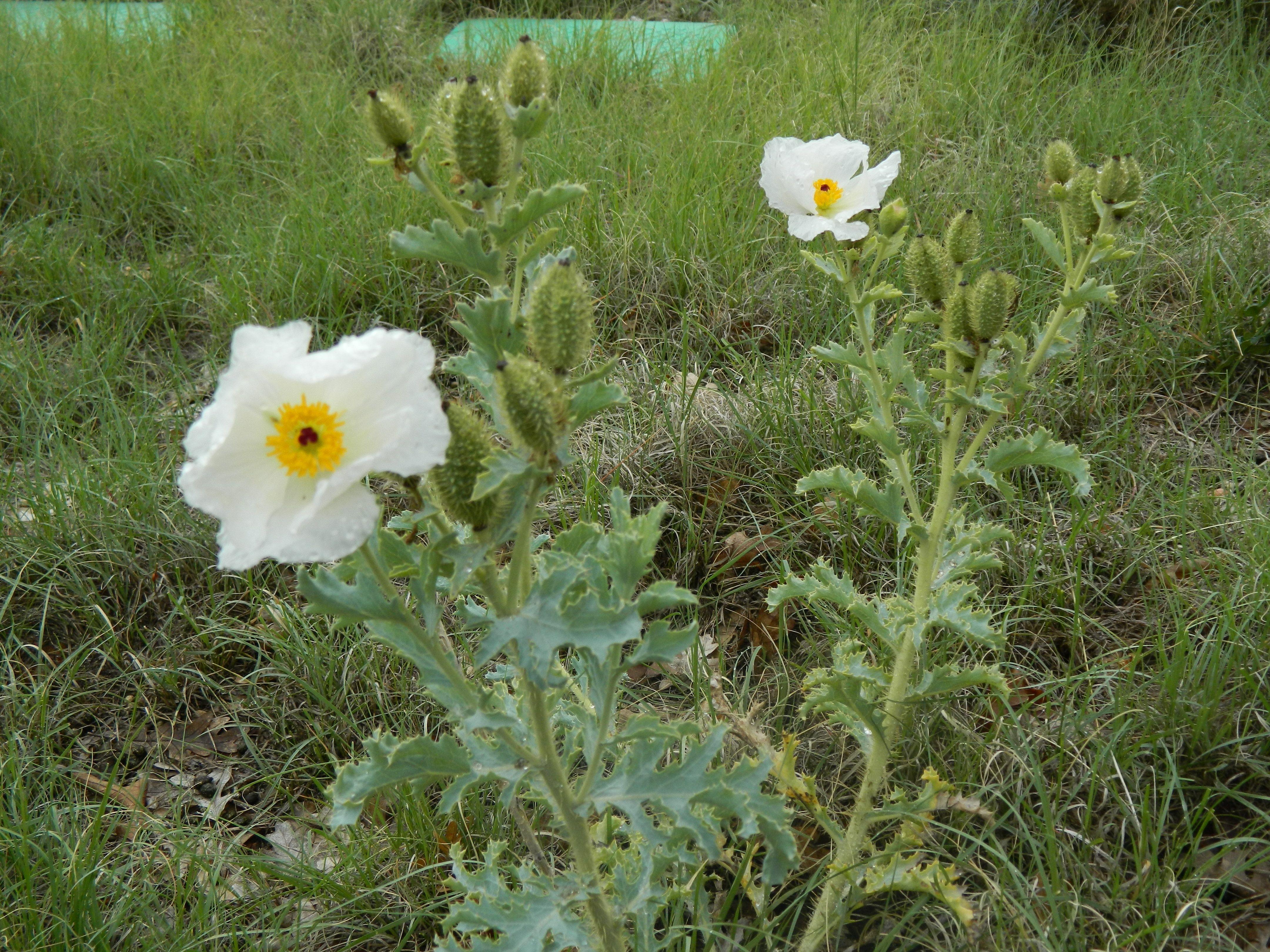 Prairie white thistle like flowers in colorado prickly poppy has prairie white thistle like flowers in colorado prickly poppy has three outstanding attributes first mightylinksfo