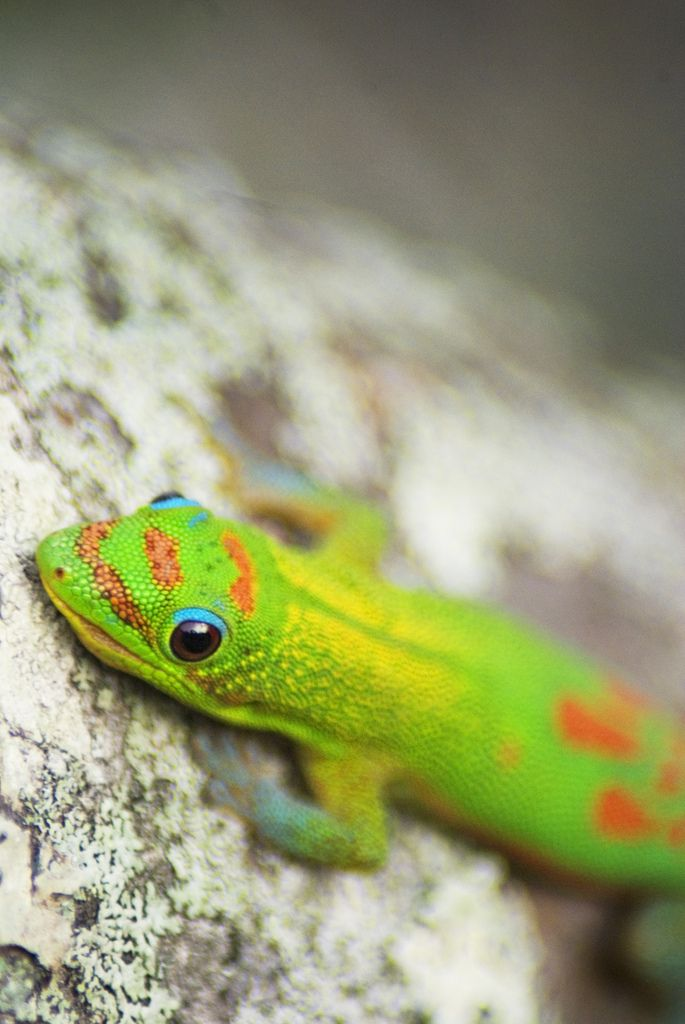 This Guy Is Better Looking Than The Geico Gecko Taken On Island Of Hawaii