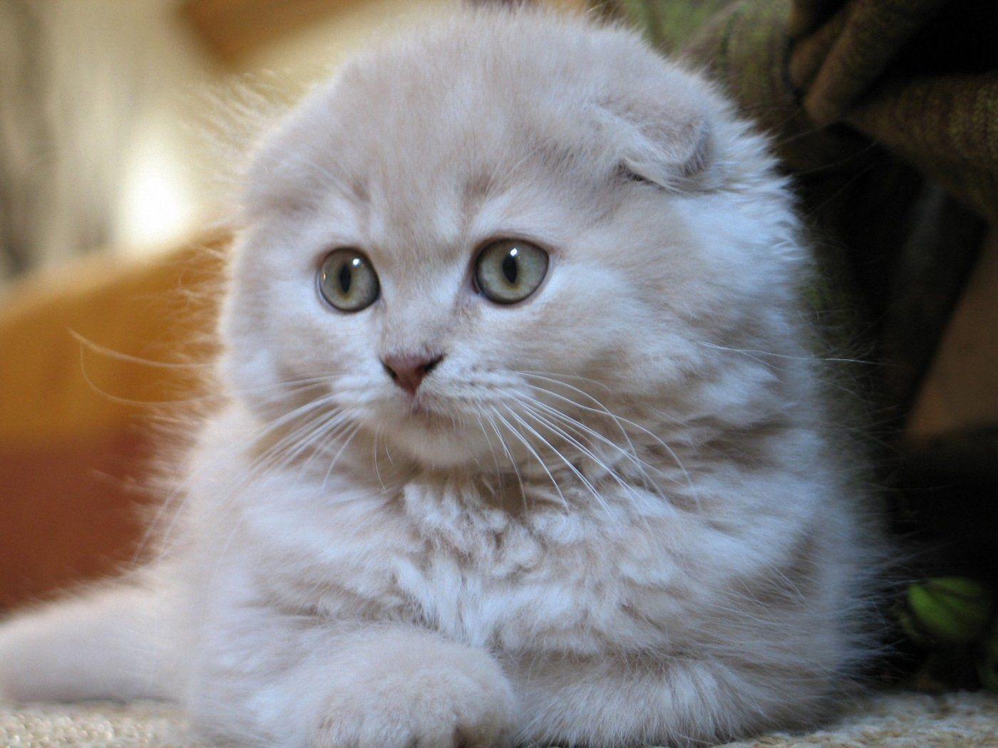 Cats Scottish Fold Scottish Fold Kittens Cat Scottish Fold Cat Breeds
