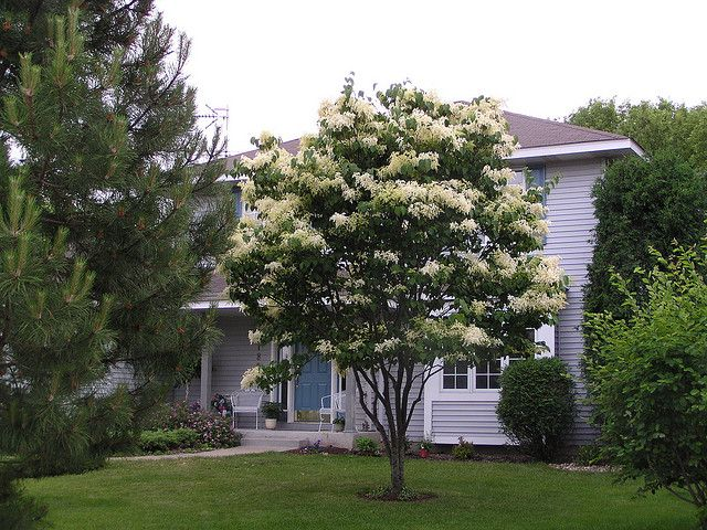 Japanese Lilac Tree In Bloom Japanese Lilac Tree Lilac Tree Japanese Lilac
