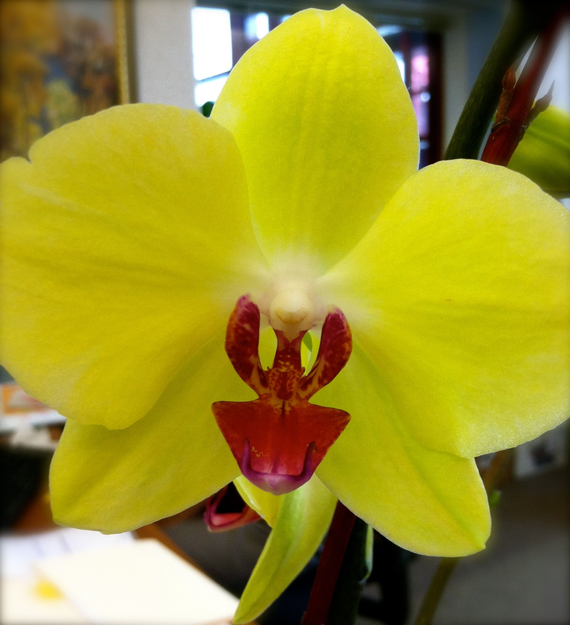 Yellow orchid love flowers pinterest yellow orchid