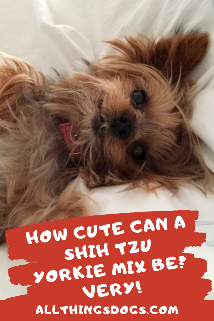 How Cute Can A Shih Tzu Yorkie Mix Be Very Yorkie Mix Shih Tzu Yorkie Shih Tzu Mix