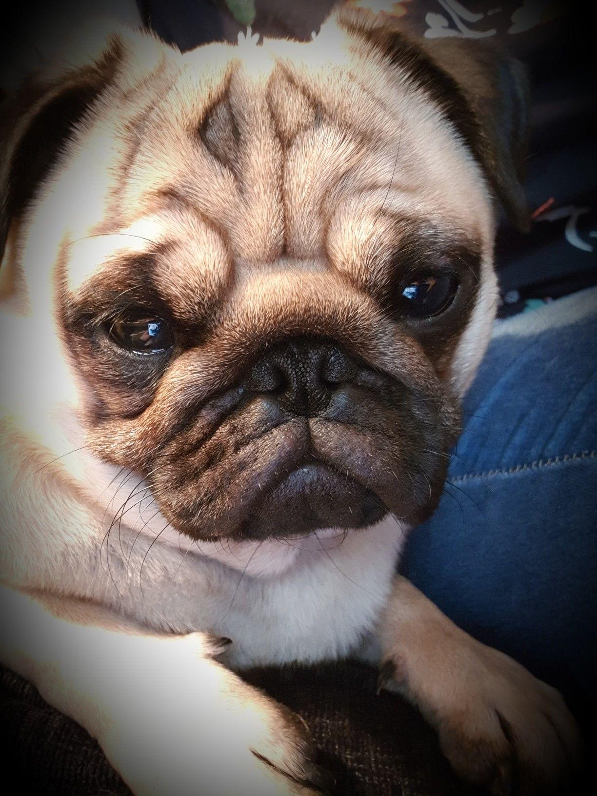 My Pug Boycie Pugs Bulldog French Bulldog