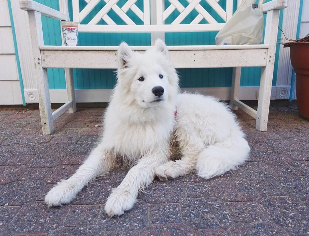 Halfway through the week! Hang in there everyone #samoyed  #samoyedsofinstagram #dog #dogsofinstagram #tot #tongueouttuesday #puppiesofinstagram #dogsofinstaworld #dogstagram #dogoftheday #petstagram #pawsome #dailyfluff #petsofig #멍멍이 #멍스타그램 #독스타그램 #사모예드 by kingsley_thesamoyed