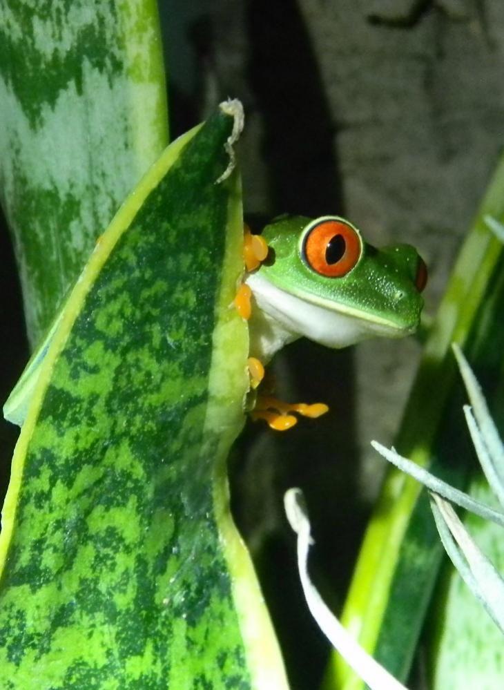 Agalychnis callidryas. Red-eye Tree Frog