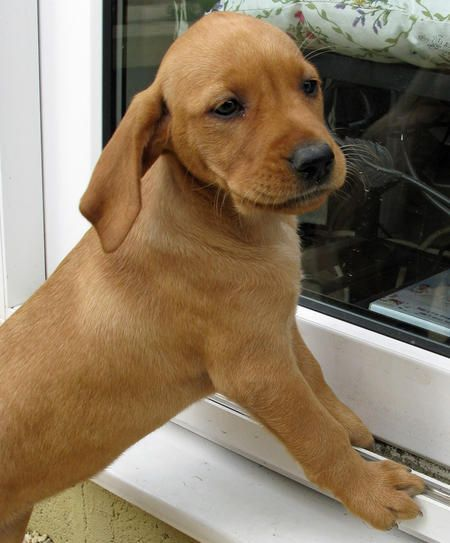 Bella The Vizsla Mix Would Love To Adopt One Of These Vizsla