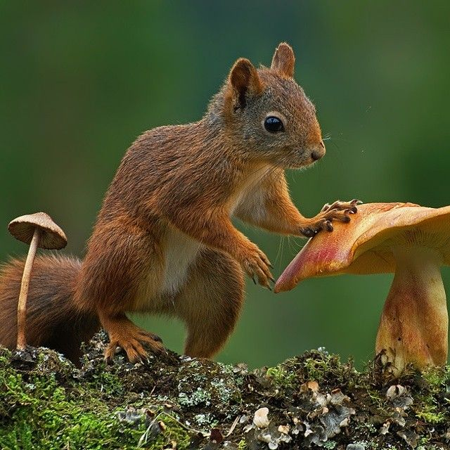 Voiceofnature Squirrelushrooms By Odd E Kjølstad Squirrels Don T Only Eat Seeds And Nuts They Also Most Types Of Mushrooms Even Those Whom