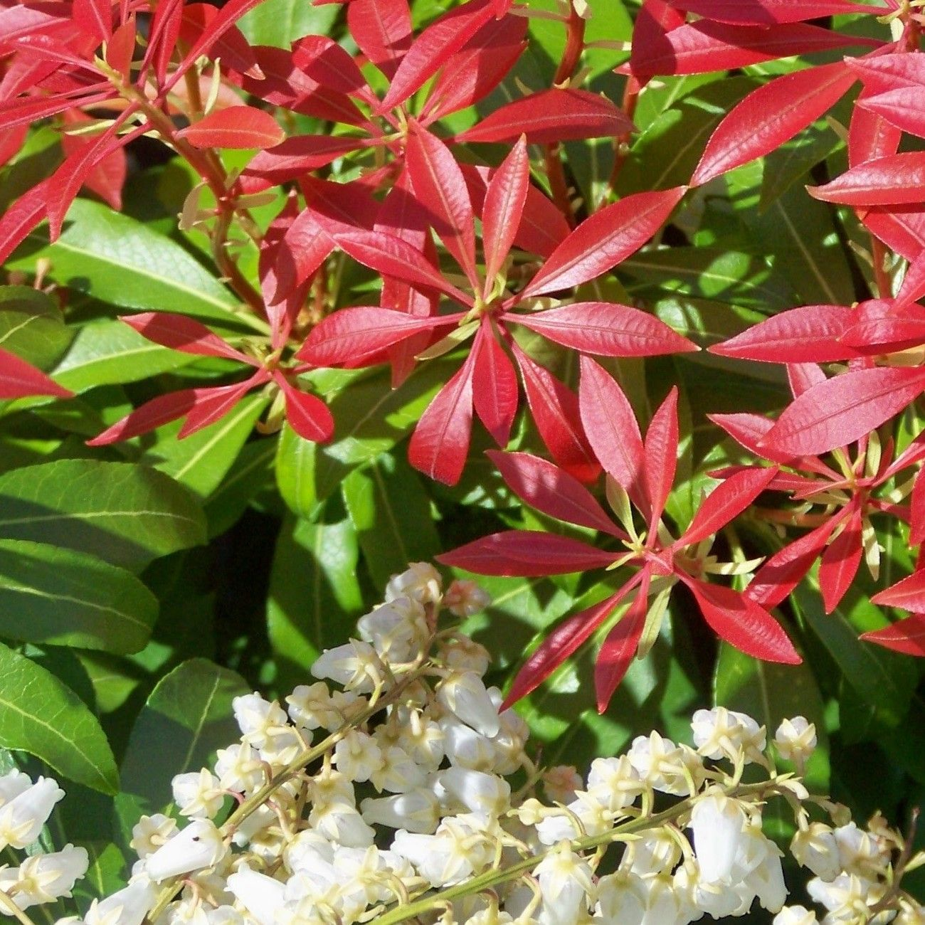 Pieris japonica 39 forest flame 39 androm de du japon for Arbuste en anglais