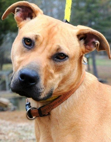 Black Mouth Cur Photo Black Mouth Cur Mix An Adoptable Dog In