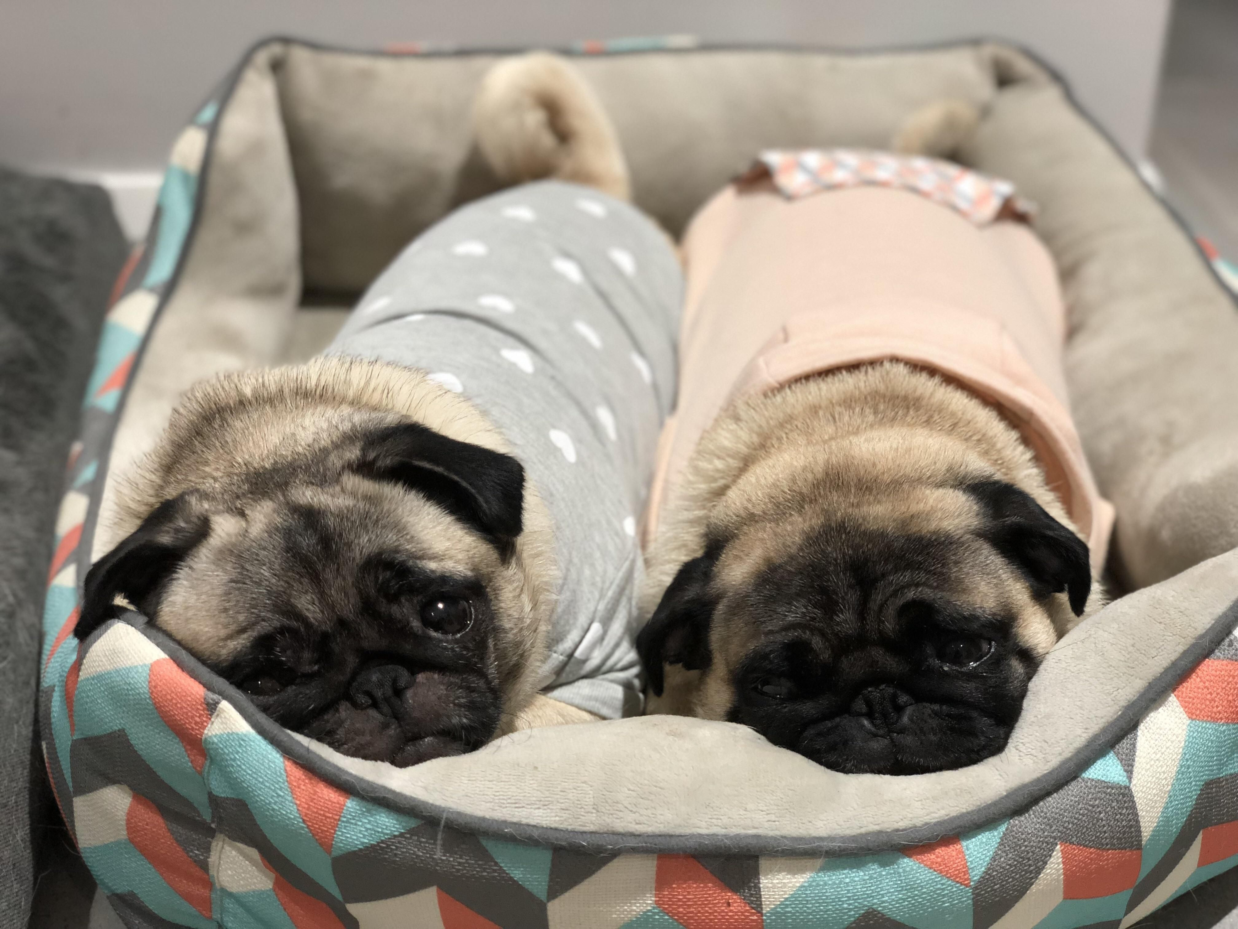 Two Peas In A Pod Https Ift Tt 2ghjzsh Pug Pugs Pugs Funny