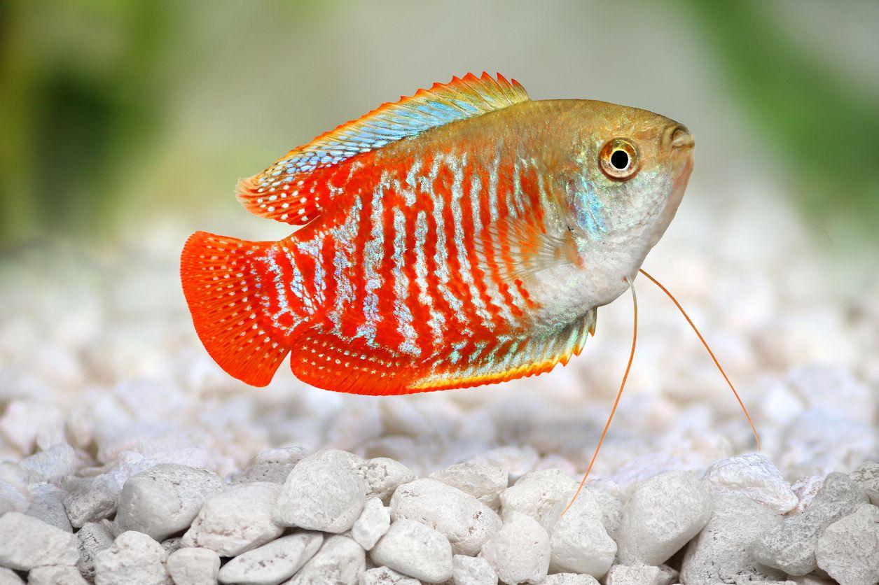 Dwarf gourami | Line & Sight\'s Fishing Community | Pinterest ...