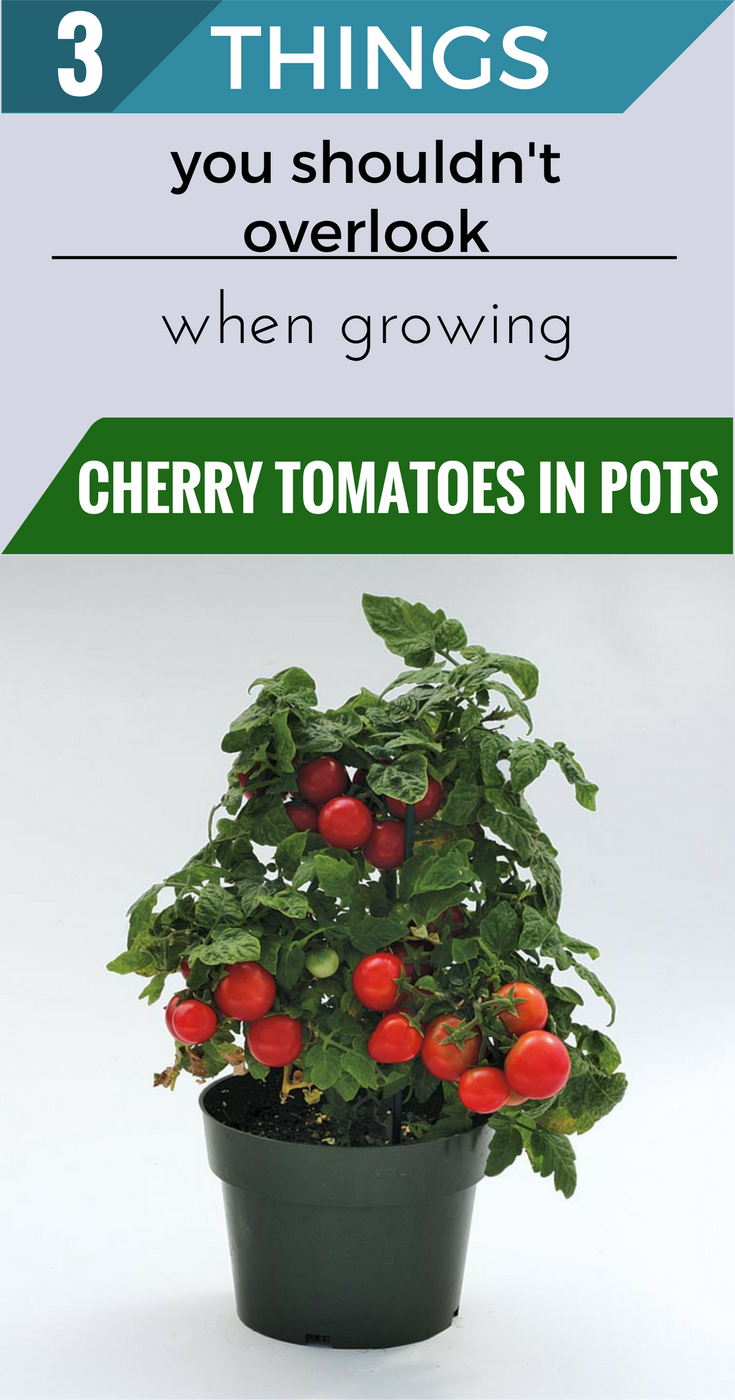 3 Things You Shouldn T Overlook When Growing Cherry Tomatoes In Pots Growing Cherry Tomatoes Cherry Tomato Plant Growing Tomatoes