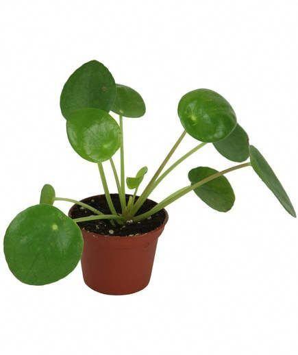 Live Indoor House Plants Houseplants