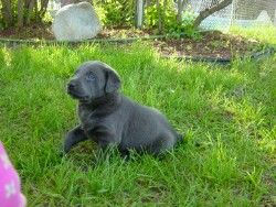 Silver And Charcoal Gray Labrador Retrievers Silver Lab Puppies