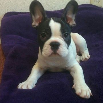 French Bulldog Puppy For Sale In Milwaukie Or Adn 21947 On