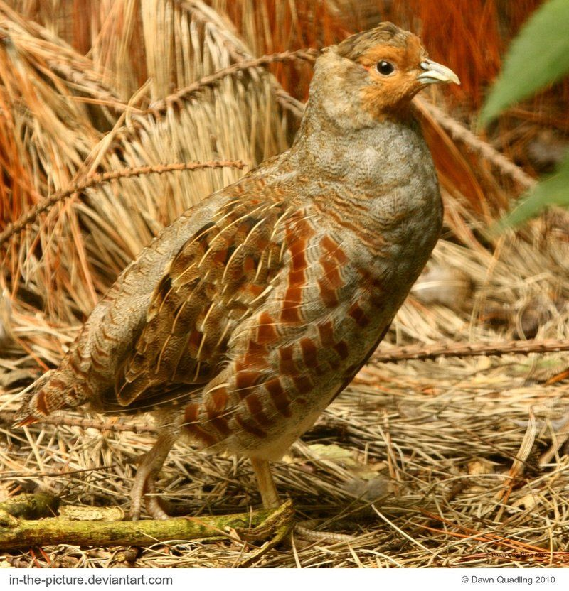 Best Grey Partridge Ourfeatheredfriends Pinterest 400 x 300