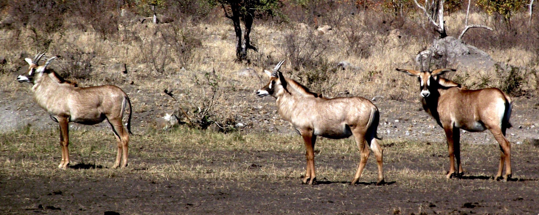 Topp 10 mest elegante antilope arter av afrikanske bushveld - Afrika Freak Log