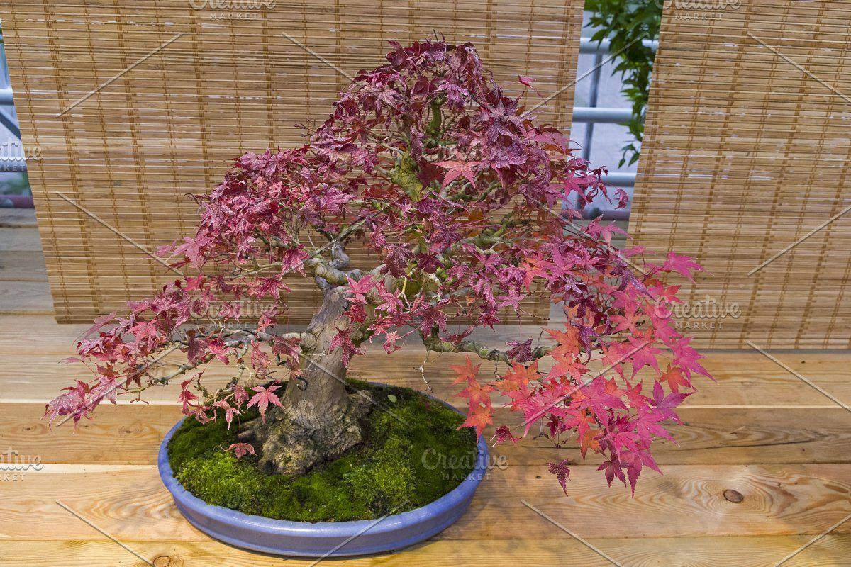 Japanese Flowering Cherry Blossom Seed Grow Kit The Jonsteen Company Cherry Blossom Decor Japanese Cherry Blossom Bonsai Tree