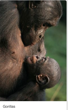 Bonobo mother and infant