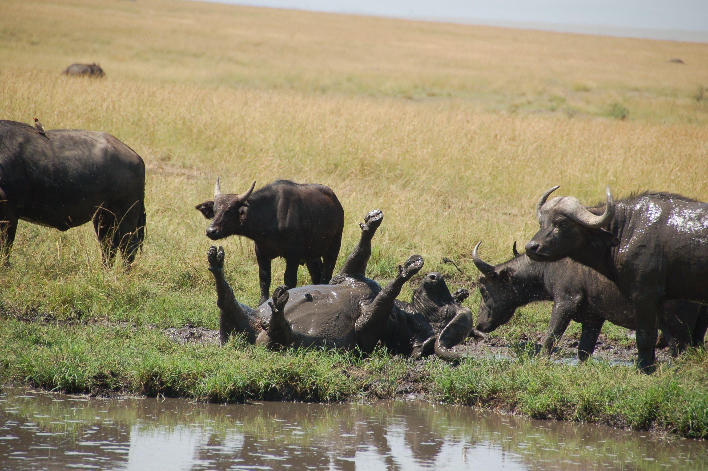 Bufalo at Masai Mara