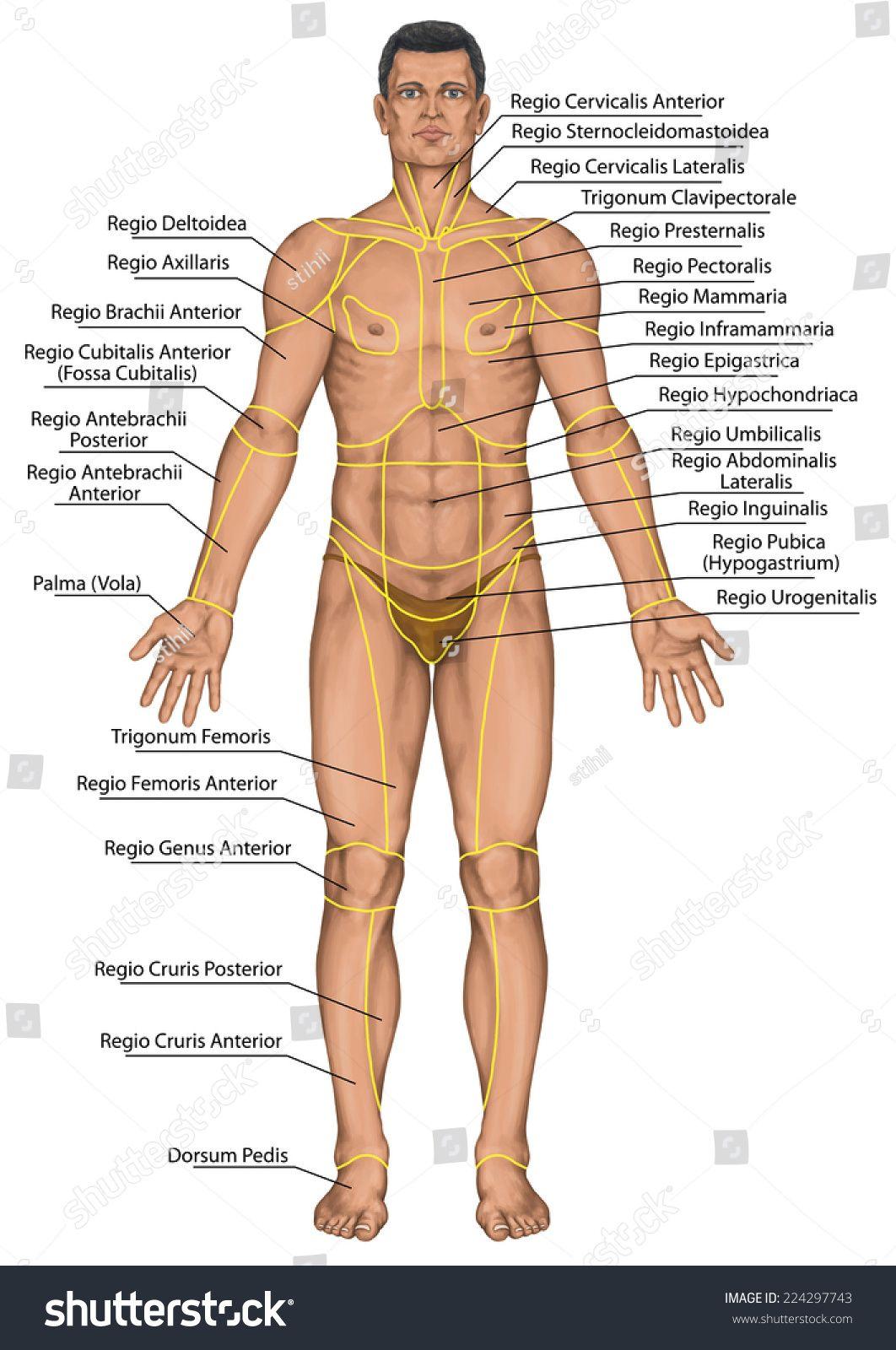 Male Human Anatomy Human Anatomy Pictures Human Body Anatomy