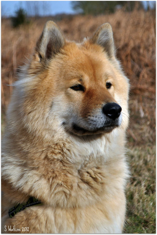 Eurasier Dog Eurasier Hund Eurasier Hunderassen
