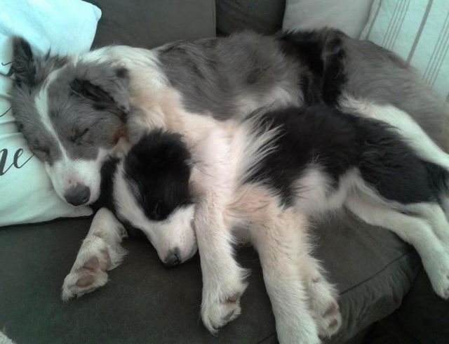 Border Collies Are Simply A Wonderful Breed Their Intelligence Is