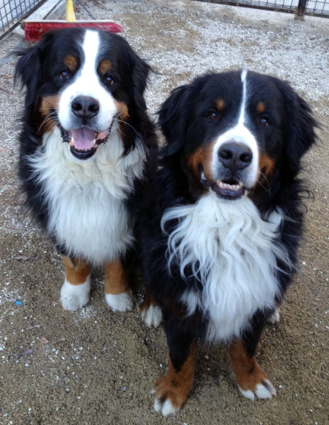 Two Handsome Dogs Tonka And Tie The Bernese Mountain Dogs At The Washington Square Park Dog Run In Greenwich Village Nyc Dogs Animals Beautiful Dog Friends