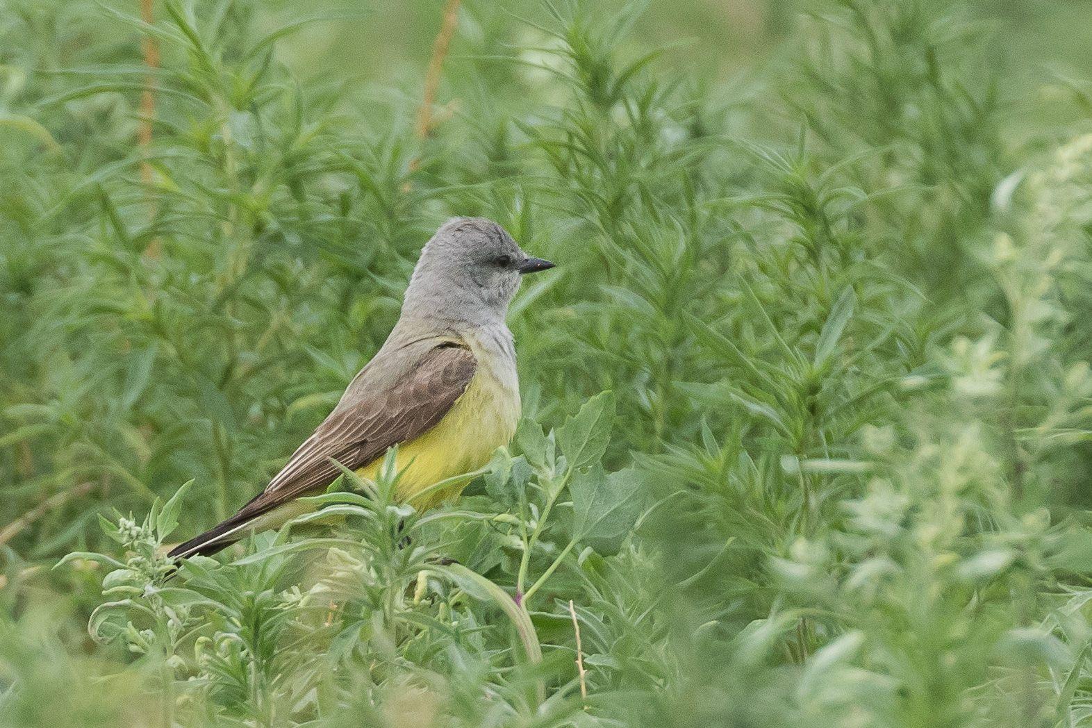 Western Kingbird ©Neal Zaun Wild Bird pany Saturday Morning