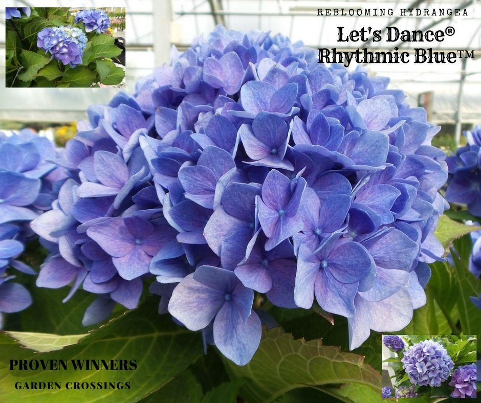Hydrangea Lets Dance Rhythmic Blue Buy Hydrangea Big Leaf Shrubs Online Big Leaf Plants Hydrangea Big Leaves