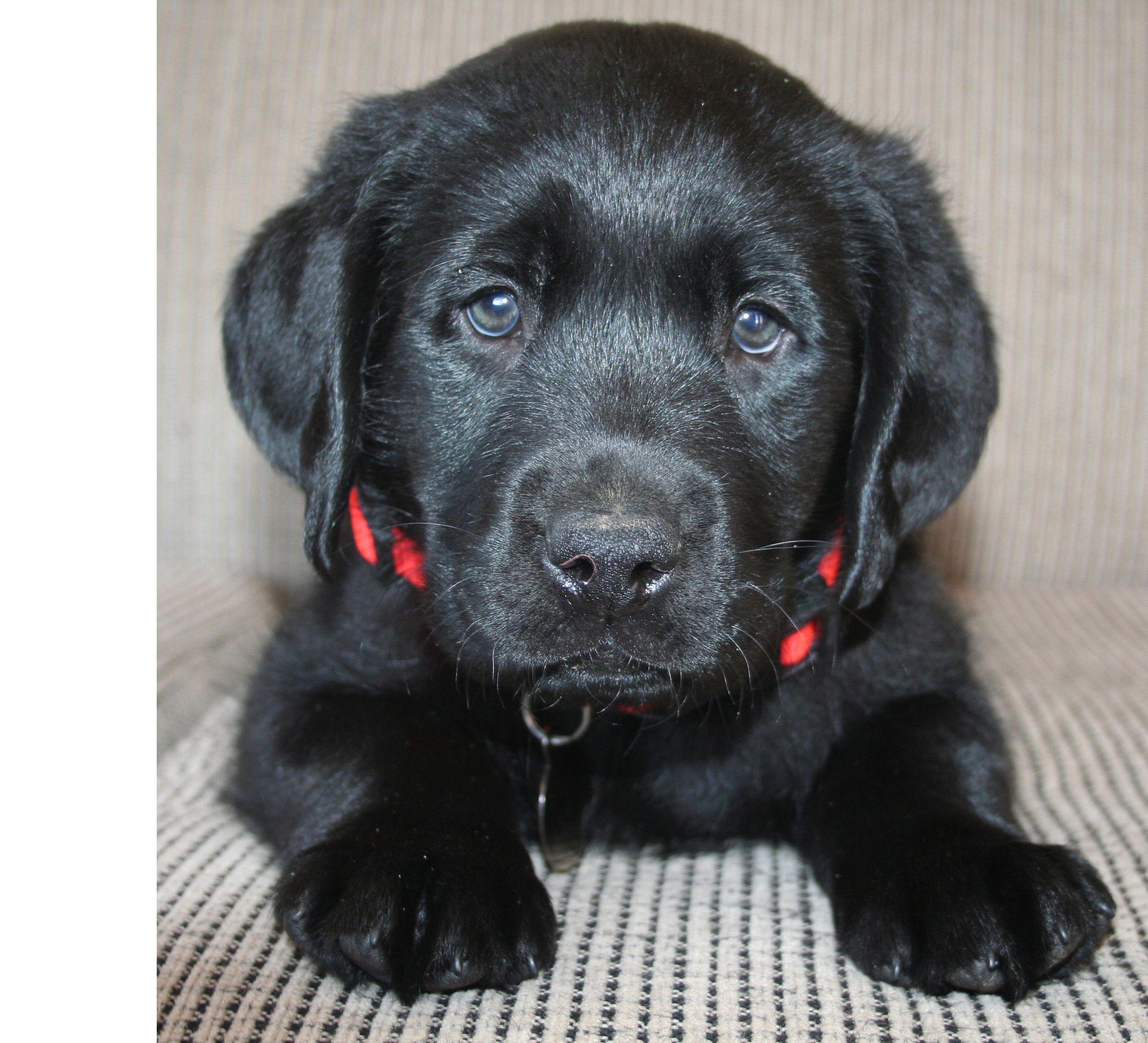 Baby lab love black lab puppies lab puppies i love dogs