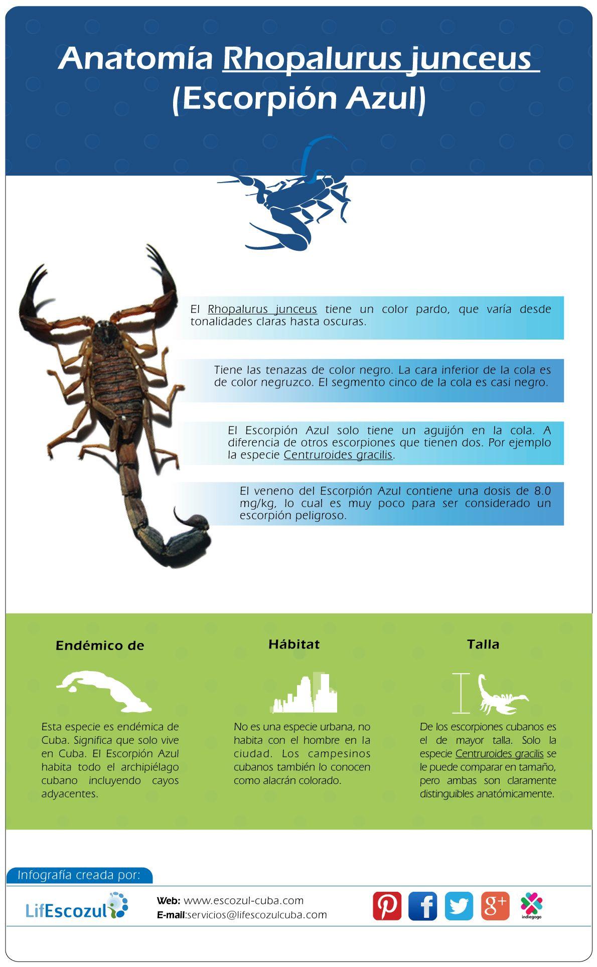 Rhopalurus junceus, su anatomía. Características esenciales para ...