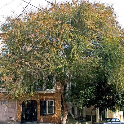 The Best Street Trees For Life In San Francisco Sunset Street Trees Tree Chinese Elm Tree