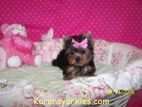 Party Yorkies Parti Yorkies Yorkie Puppies For Sale Yorkies For Sale Yorky Breeder Yorky Puppies Yorkshire Terrie Yorkie Puppy For Sale Yorkie Yorkie Puppy