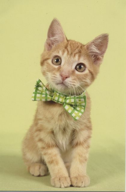 Kitten Bowtie Kittens Cutest Pretty Cats Beautiful Cats