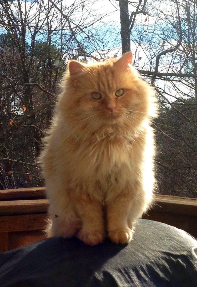 Fluffy Tabby cat named Pete