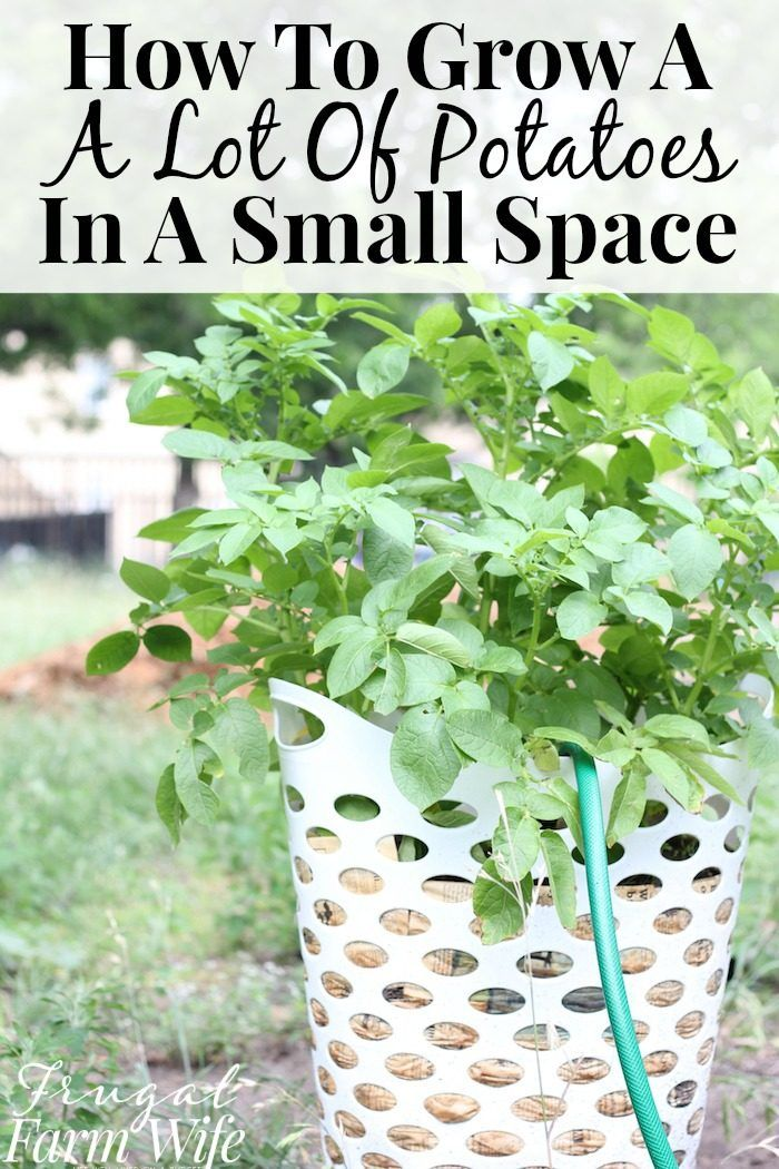 How To Grow Potatoes In Containers | The Frugal Farm Wife #growingpotatoes