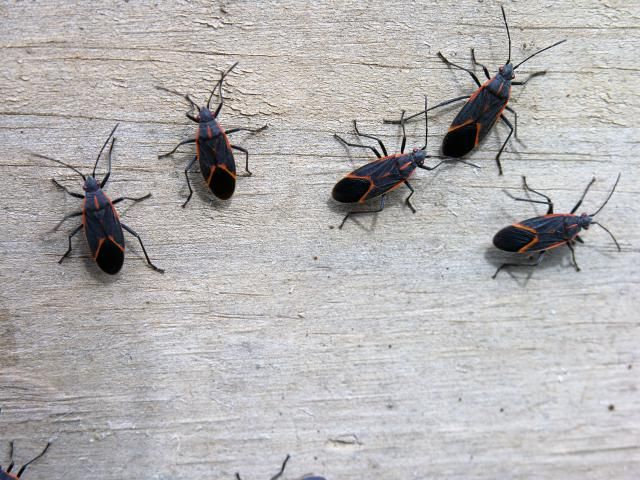 Why Are There Red And Black Bugs All Over My House Termite Control Box Elder Bugs Insect Control