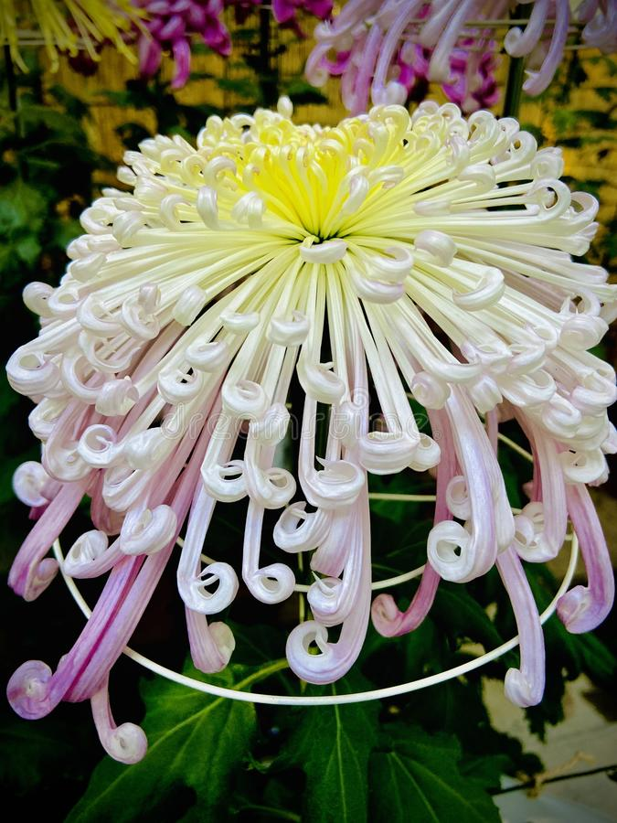 Pin By Elemeno On What A Wonderful World In 2020 Japanese Chrysanthemum Chrysanthemum Flower Flowers