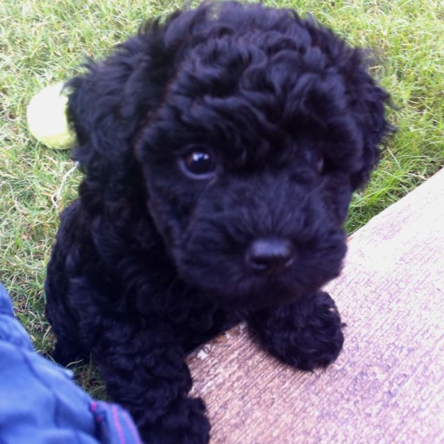 Miniature Poodle 3 Poodle Puppy Toy Poodle Black Cute Animals