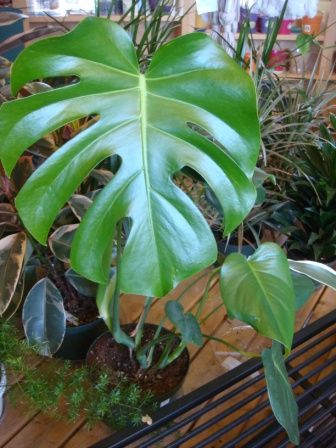 ed0e2d8be46d449eda993febe654e13d Large Leaf Houseplants Pineapple on large leaf trees, large leaf hydrangeas, large leaf perennials, large leaf food, large leaf basil, large leaf ivy, large leaf ferns, large leaf recipes, large leaf shrubs, large leaf palms, large leaf vines, large leaf philodendron care, large leaf iris, large green leaf, large leaf lilies, large leaf planters, large leaf succulents, large split leaf philodendron, large leaf hibiscus, large leaf weeds,