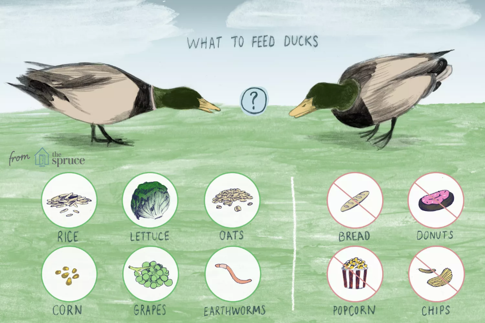 What to Feed Wild Ducks in 2020 What to feed ducks, Wild