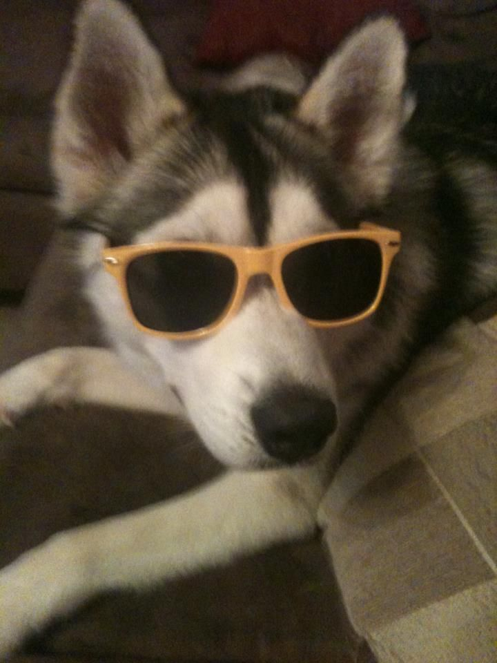 f7b84c0d036 Wear my sunglasses at night | Huskies | Dogs, puppies, Dogs, Cute ...