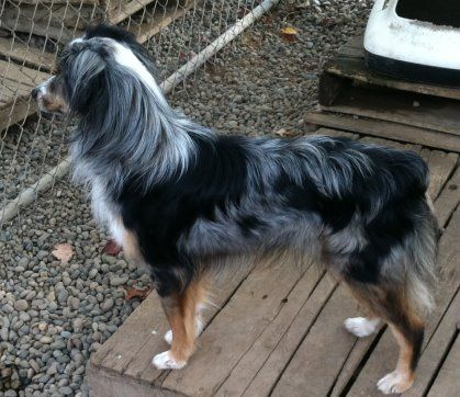 """Sweet WilliamMiniature Australian ShepherdMale/neutered/shots current11 months old16 lbs""""Willie"""" is a friendly, sweet but very busy little boy. He loves people, and gets along well with other dogs, although sharing of toys is still a..."""