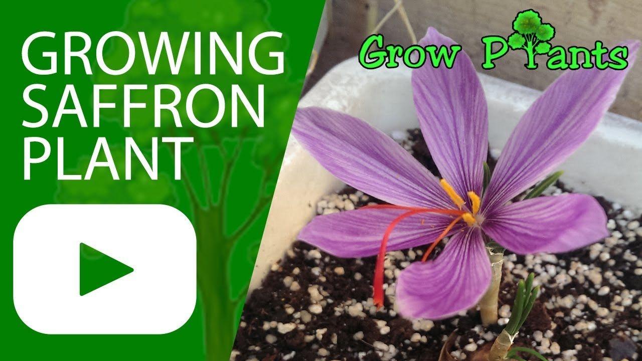 Growing Saffron plant - Plant information: climate ...
