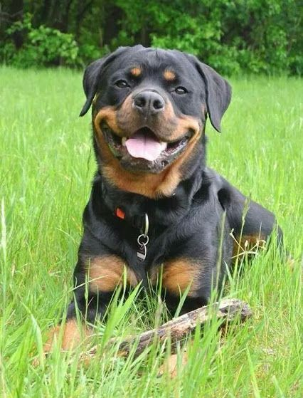 Lovely Rotty Beautiful Dogs Rottie Dogs