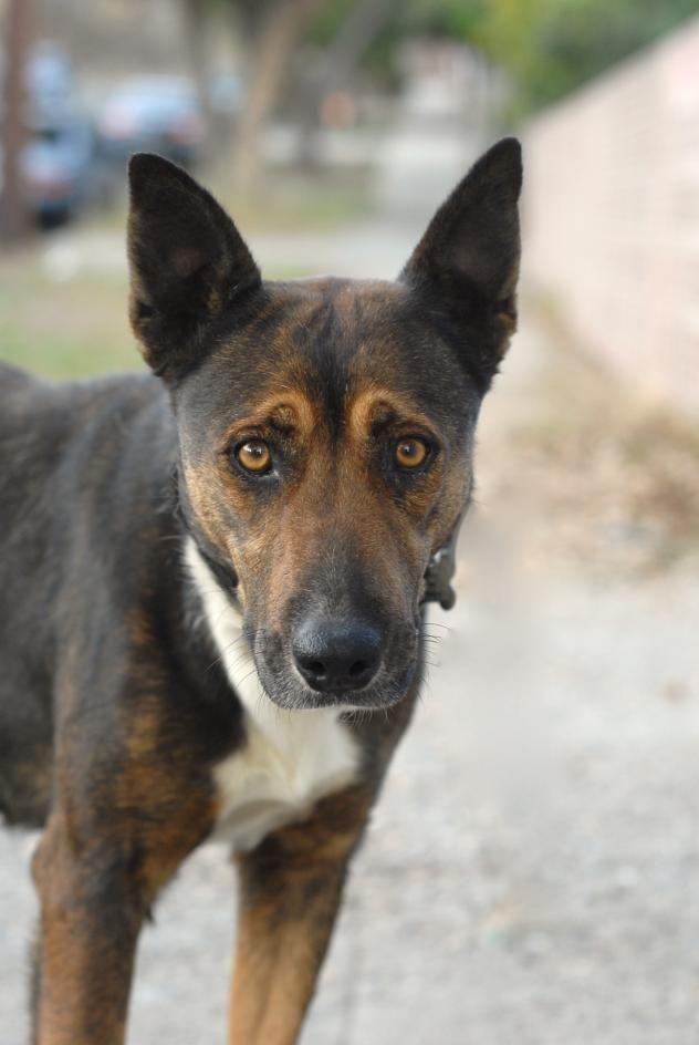 Adopt Joni On Petfinder Cattle Dogs Mix Belgian Malinois Cattle Dog