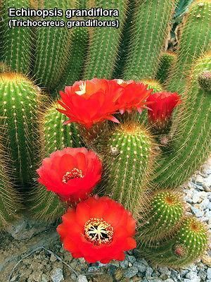 "Trichocereus Grandiflorus Cactus Big Plant Grown in 4/"" pot"