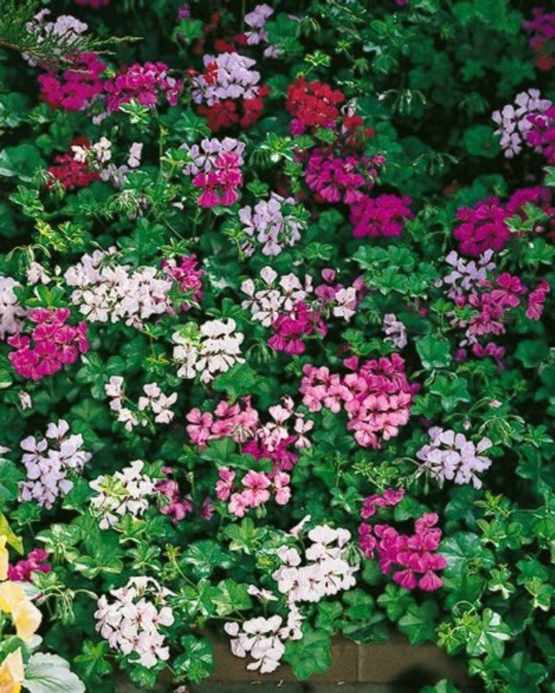 Ivy Geranium Seeds Tornado Mix Bulk Flower Seed For